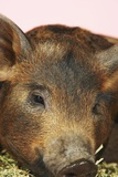 Brown Pig, Close-Up of Head Prints