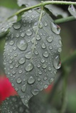 Leaf of a Rose with Raindrops Photo by Frank May