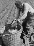 African American Farmer Planting Cotton in a Plowed Field in Butler County, Alabama, April 1941 Print