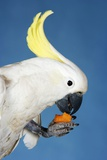 Cockatoo Eating on Blue Background Foto