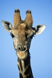Maasai Giraffe Photo