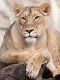 A Lion Sitting in an Enclosure in the Zoo in Berlin, Germany Photo