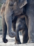 Asian Elephants with their Baby Standing in their Zoo Enclosure Photo