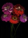 Close-Up of Zinnia Flowers, Studio Show Posters