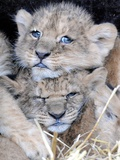 Two Lion Cubs, Born in Captivity in Serengeti Park Foto