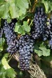 Blauer Portugieser Grapes Hang in the Vineyards Pósters por Jan Woitas