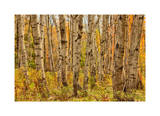 Birch Trees, Acadia Giclee Print by Michael Hudson