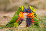 Rainbow Lorikeets (Trichoglossus Haematodus) Fighting Photographic Print by  miroslav_1