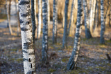 Birch Trees in Spring Photographic Print by Pink Badger