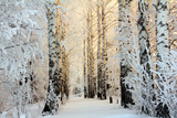 Winter Birch Woods in Morning Light Reproduction photographique par  Kokhanchikov