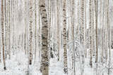 Close-Up of a Birch Wood in Winter in Finland Photographic Print by Teemu Tretjakov