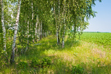 Birch Grove Photographic Print by Nataliya Dvukhimenna