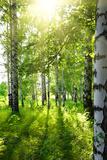 Summer Birch Woods with Sun Fotografisk tryk af  Kokhanchikov