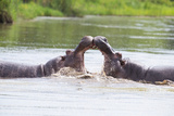 Two Huge Male Hippos Fight in Water for Best Territory Photographic Print by Alta Oosthuizen