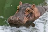 Hippopotamus Photographic Print by  irairaira