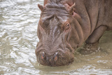 Hippopotamus Portrait in the Water Poster by Andrea Izzotti