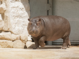 Hippopotamus Photographic Print by  kerstiny