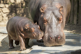 Baby Ippopotamo Reprodukcja zdjęcia autor Nikokvfrmoto