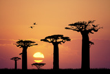 Baobab Silhouette at Sunset Posters by  adrenalinapura