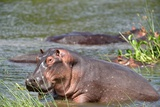 Common Hippopotamus Print by  duelune