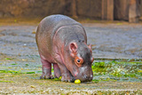 Little Hippo Photographic Print by  vbel71