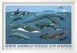 North American Whales and Dolphins Prints