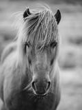 Portrait of Icelandic Horse in Black and White Fotografie-Druck von Aleksandar Mijatovic
