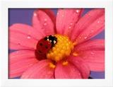 Ladybird Poster by  Ratier