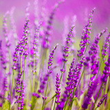 Colorful Lavender Flower Photographic Print by  robsonphoto