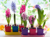 Multicolored Hyacinth Photographic Print by  sarsmis