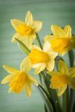 Gitusik - Daffodils. - Fotografik Baskı