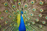 Portrait of Beautiful Peacock with Feathers Out.. Photographic Print by  robhainer