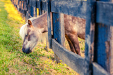 Grazing Pony Photographic Print by Alexey Stiop