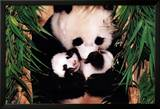 Panda Mother and Baby Posters