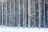 thakala - Snowy Birches - Fotografik Baskı