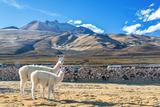 Pair of Llamas Fotografisk tryk af  jkraft5