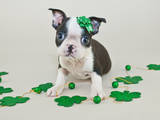 St Patrick's Day Puppy Photographic Print by  jstaley4011