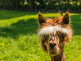 Portrait of a Cute Young Brown Llama Print by Ruud Morijn