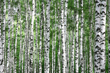 Trunks of Summer Birch Trees Photographic Print by Elena Kovaleva