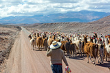 Llama Herd on Road Photographic Print by  jkraft5