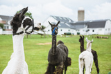 Four Lama's on Farm in Amish Country Photographic Print by  epstock
