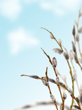 Spring Pussy-Willow Branches on Blue Sky Background Photographic Print by Alexander Potapov
