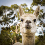 Alpaca Photographic Print by  THPStock