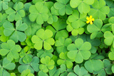 Clover Photographic Print by  danielskyphoto