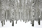 Winter Birch Forest Papier Photo par Elena Kovaleva