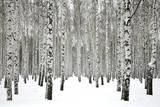 Winter Birch Forest Fotografisk tryk af Elena Kovaleva