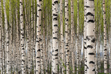 Birch Trees Photographic Print by Pink Badger
