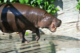 Pygmy Hippopotamus Opening its Mouth Prints by  ooaco