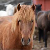 Icelandic Horse Portrait Photographic Print by Aleksandar Mijatovic