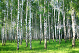 Beautiful Summer Birch Grove in the Evening Sunlight Photographic Print by Elena Kovaleva